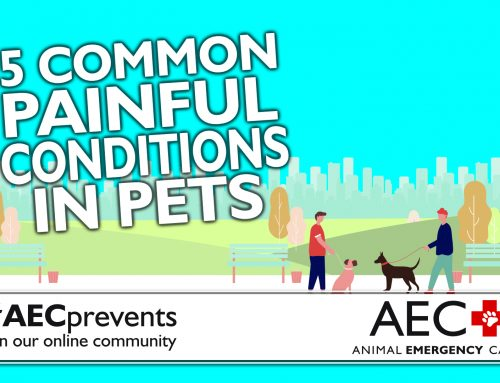 5 Common Painful Conditions in Pets